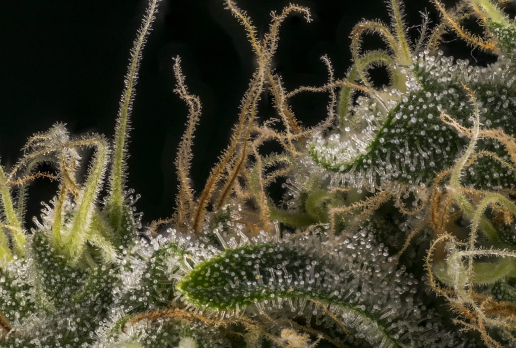 Macro shot of trichomes, where terpenes are stored.