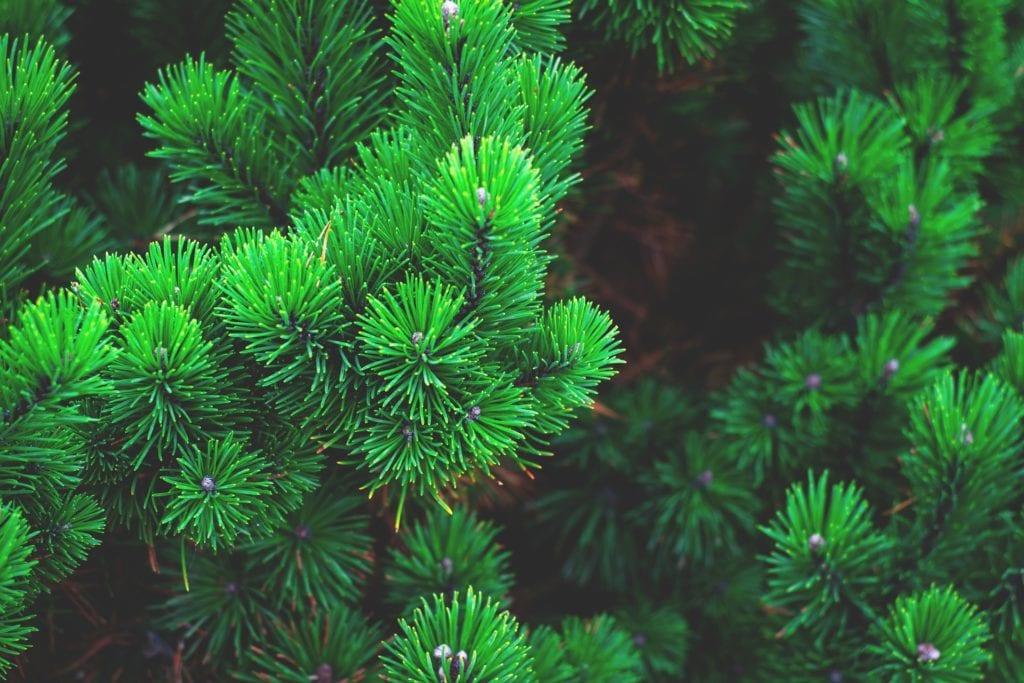Coniferous plant, where pinene can be found.